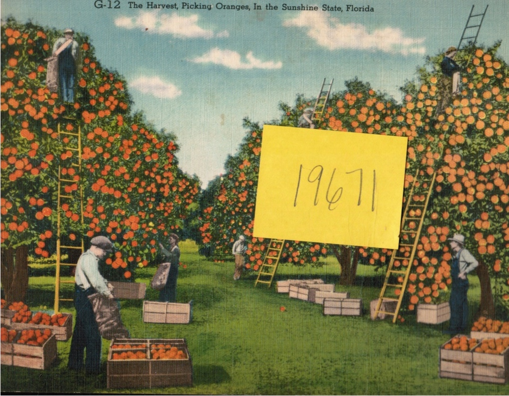 Image for Giant Post Card: the Harvest Picking Oranges in the Sunshine State, Florida